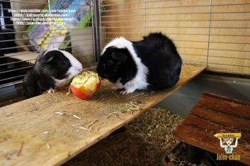 12-off-topic-meerschweinchen-spazieren-durch-die-wohnung-by-jolin-chan